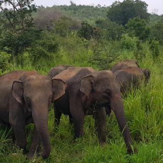 elephants minneriya