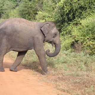 elephant yala